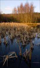 Autumn Reeds, Horsepasture Pools, Cannock Chase, Staffordshire, UK