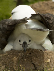 Tight squeeze!   Black-browed albatross - Diomedea melanophris