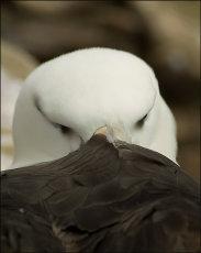 Black-browed albatross.  Diomedea melanophris