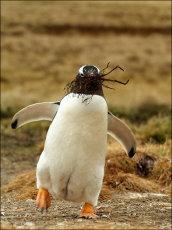 Dancing Penguin.  Gentoo Penguin  -  Pygoscelis papua