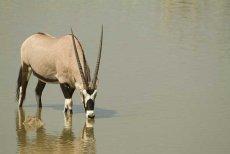 Gemsbok Wading  (oryx gazella)