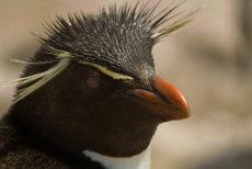 Punk Rocker!  Rockhopper Penguin    -    Eudyptes crestatus.