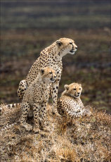 Cheetah and cubs.  (Acinonyx jubatus)