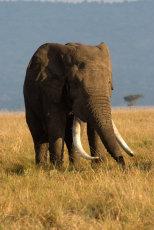 Tusker.  African Bull elephant - Loxodonta africanus