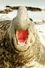 Bull Southern  Elephant Seal.  Mirounga leonina
