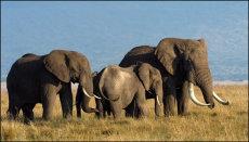 African Elephants. Male and females on the Masai Mara, Kenya. Loxondonta africana