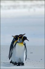 Following my leader.  King Penguins  -  Aptenodytes patagonicus