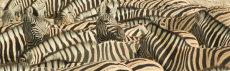 "A ""dazzle"" of zebra. Burchell's Zebra  - Equus Burhcellii"