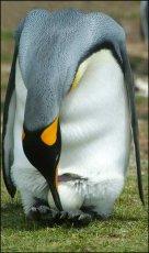 Easter penguin!    King Penguin   -  Aptenodytes patagonicus