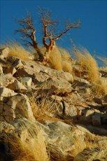 Quiver Tree and Desert Grass, Namib Desert, Namibia