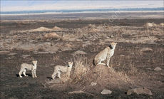 Cheetah family in landscape