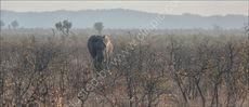 Elephant in mopani trees