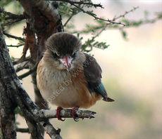 Wood Kingfisher