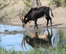 Sable and impala