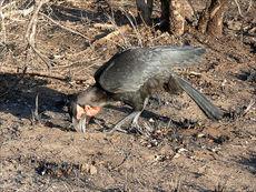 Digging Ground Hornbill