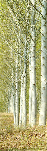 Poplar Trees. (Right)