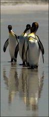 Reflected Kings.  King Penguins  -  Aptendytes patagonius