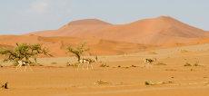 Sossusvlei Springbok