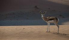 Springbok on the dune