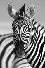 Stripes      Burchell's Zebra  -  Equus Burchellii