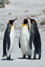 """We three kings""!  King Penguins  -  Apenodytes patagonius"