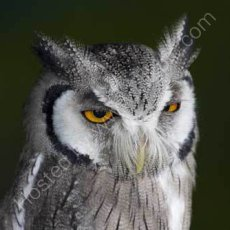 Whitefaced owl - ptilopsis leucotis