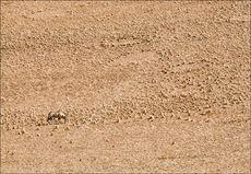 Desert Oryx (Gemsbok)