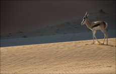 Springbok in the dunes