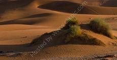Shrubs in the dunes