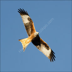 Red Kite (square)