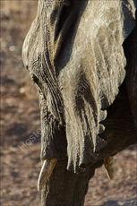 Elephant ear (detail)