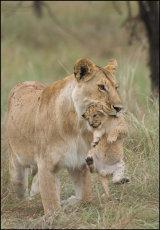 A Mouthful!    Panthera leo