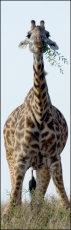 Giraffe with attitude!     Giraffa Camelopardis
