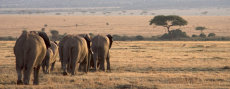 Elephant Retreat.   (African elephants - Loxodonta africana)