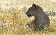 Early morning lioness   Panthera leo