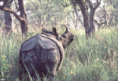 One Horned Asian Rhino,  - Rhinoceros unicornus