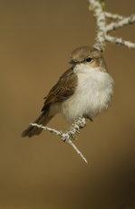 Mariko Flycatcher     Melaenornis mariquensis