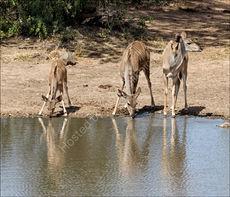 Drinking kudu