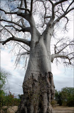 Elephant damaged Baobab Tree. (Adansonia)