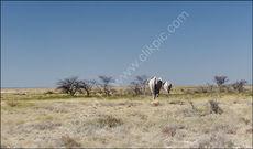 Elephants into the distance