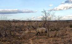 Evening rhino