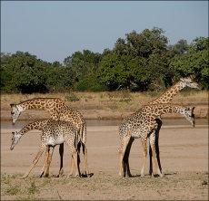 Giraffe Dance?  (Giraffa Camelopardalis Thornicrofti)