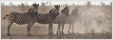 Going, going, gone!  Burchell's Zebra  -  Equus Burhcellii