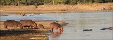 Hippos with baby.  (Hippopotamus amphibius)