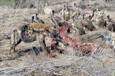 Hyena at kill, with waiting vultures