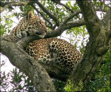 Leopard look-out tree  Panthera pardus
