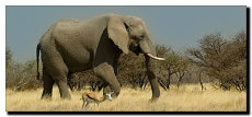 Little & large. African elephant and Springbok