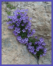 Campanula in the Crevisse.