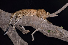 Night time leopard.  (Panthera pardus)