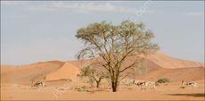 Springbok against the dunes